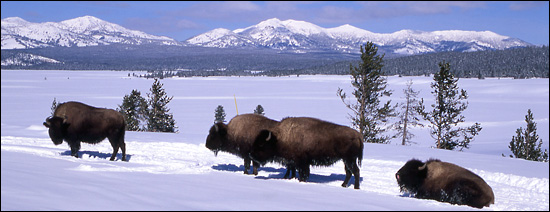 Bison lounging in Yellowstone