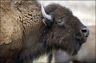 An American buffalo in National Bison Range Wildlife Refuge in Montana.