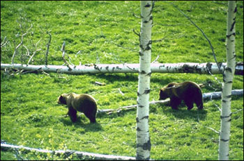 Lewis and Clark NF grizzlies