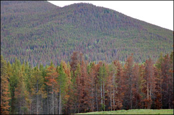 Reddish hue of pines damaged by the mountain pine beetle.