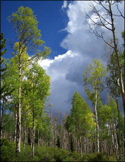 An aspen grove in Pike National Forest