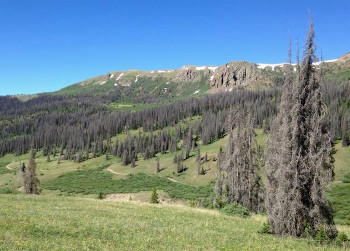 Trees killed by bark beetles in the southern Rocky Mountains