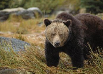 Grizzly bears threatened